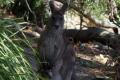 Jervis Bay - Das Wallaby kam uns auf dem Weg entgegengehüpft und war überrascht, dass wir seinen Weg benutzen