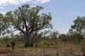 Baobab in Western Australia