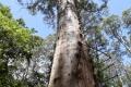 Gloucester Tree, die 61m hohe Plattform diente früher der Brandbeobachtung. Heute kann man von dort immernoch die Aussicht über die Karri-Wälder genießen