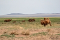 In der trockeneren Landschaft sieht man weniger Yaks und Ziegen, dafür mehr Kamele