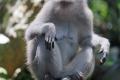 Im Affenwald von Ubud leben mehrere Gruppen Makaken mehr oder weniger wild