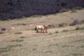 Takhi - Mongolische Wildpfere im Khustain Nationalpark