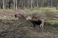 In der Nähe von Kostroma gibt es eine Elchfarm. Da ich der einzige fremdsprachige Besucher bin bekomme ich eine private Führung vom Leiter der Anlage und kann auch in die Gehege zu den Elchen. Die Farm ist einzigartig, für die Haltung der Elche ist es notwendig, dass die Tiere sich frei in den umliegenden Wäldern bewegen können.