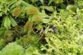 Singapur - Fleischfressende Pflanzen im Cloudforest Dome
