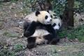 Chendu - in der Panda Aufzuchtstation sind über 100 Große Pandas unterschiedlichen alters zuhause