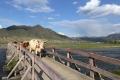 Altai - In Ongudai laufen die meisten Tiere frei herum
